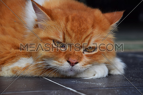 Close up front portrait of one red ginger and white colored domestic cat laying relaxed on the floor and looking at camera, low angle view