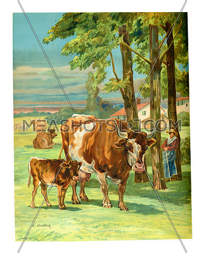 Mother Cow with calf, vintage engraved illustration.