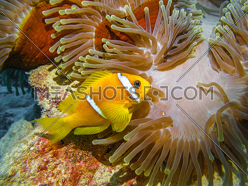 Red sea Clown fish with red anemone