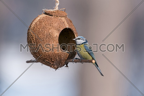 Eurasian blue tit (Cyanistes caeruleus or Parus caeruleus) taking nuts from bird feeder with copy space