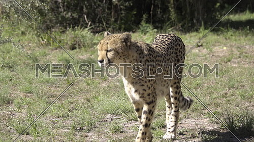 Panning view of a cheetah on the prowl