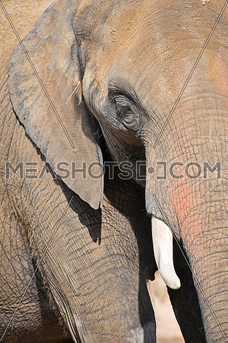 Extreme close up half profile portrait of one African elephant with tusk, low angle view