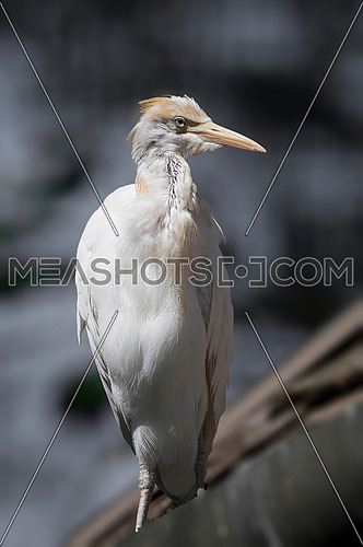 Close up photo of White Cattle egret