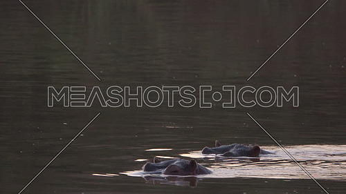 Scene of the top of two hippos heads visible in a river