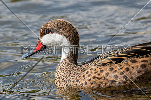 White-cheeked pintail (Anas bahamensis), also known as the Bahama pintail.