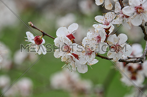 Close up white apricot cherry tree blossom over green background, low angle view