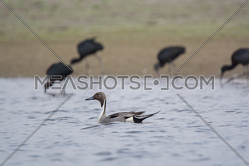 Pintail Duck swimming in calm water