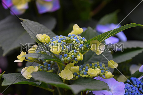 Close up fresh blue and yellow hydrangea or hortensia flowers