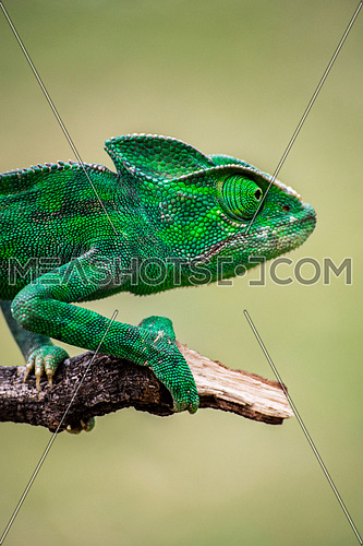 green chameleon close up on tree branch