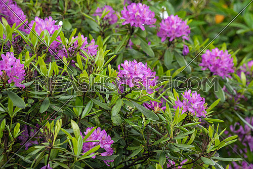 Pacific rhododendron (Rhododendron macrophyllum) is a large-leaved species of Rhododendron native to the Pacific Coast of North America
