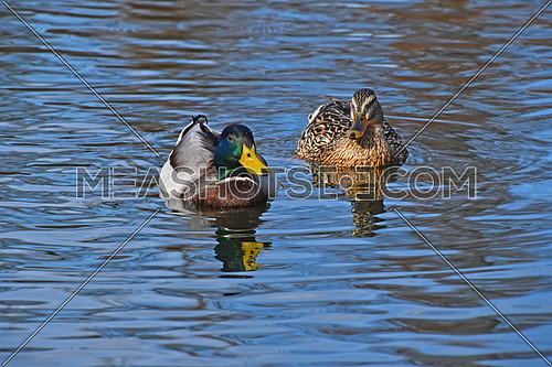Two mallard ducks swimming in blue wavy lake water with ripples and reflection