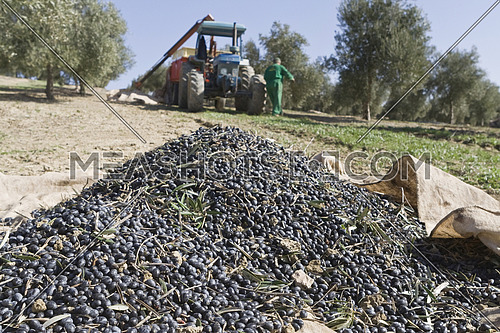 Jaen, Spain - yanuary 2008, 23: Olives accumulated in a sack in the soil during the compilation of the olive campaign in winter, take in Jaen, Spain