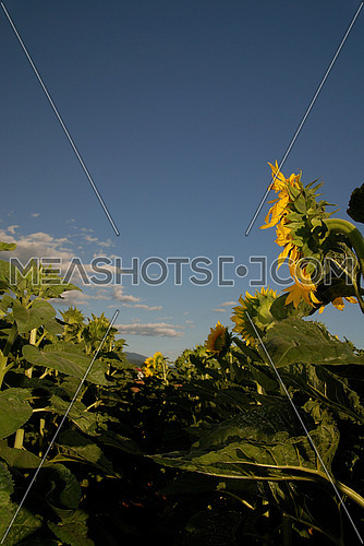 sunflower at sunny day   (NIKON D80; 6.7.2007; 1/100 at f/7.1; ISO 100; white balance: Auto; focal length: 18 mm)