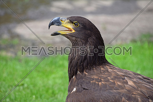 Close up profile portrait of one Golden eagle (Aquila chrysaetos) looking at camera over green and grey background, low angle side view