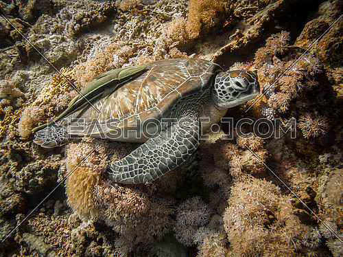 A green Turtle nesting in the coral reef with a Remora on its back. Marsa Alam, Redsea, Egypt