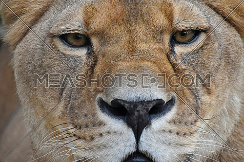 Face to face, extreme close up portrait of beautiful mature female African lioness looking at camera