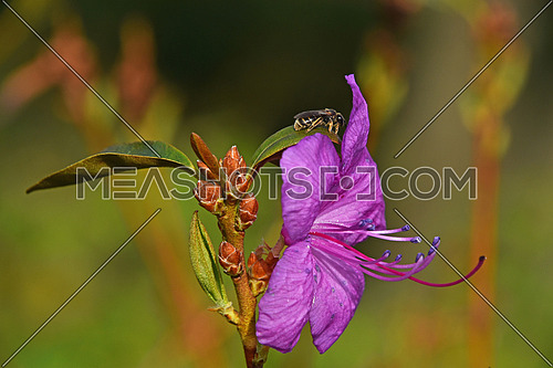 Honey bee at purple azalea rhododendron flower close up over background of green leaves and pink flowers