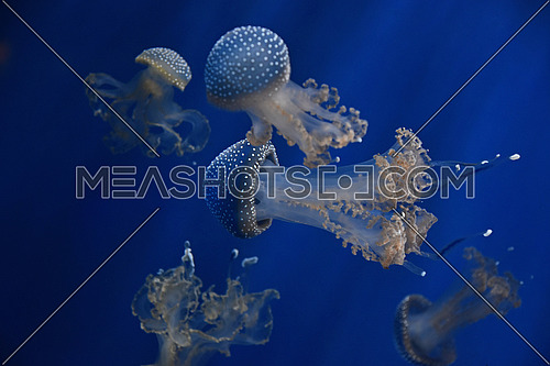 Close up group of several jellyfishes swimming in water in light over dark blue background, low angle view