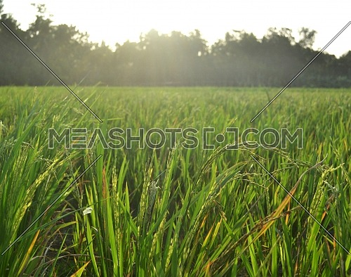 Green rice plants are exposed to the sunlight from the sky at sunset