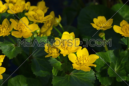 Close up early spring yellow Caltha flowers over green leaves, high angle view