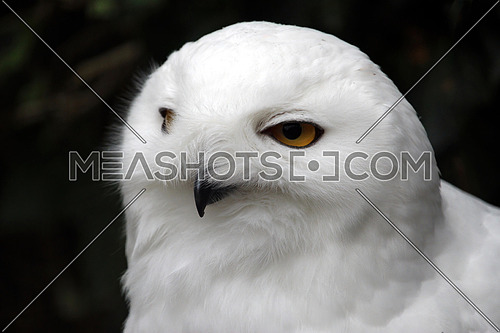 Close up of Snowy Owl (Bubo Scandiacus) in nature