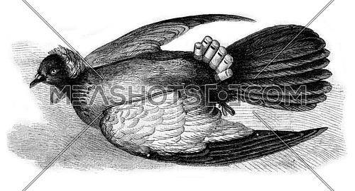 Chinese Pigeon with whistle, vintage engraved illustration. Magasin Pittoresque 1873.