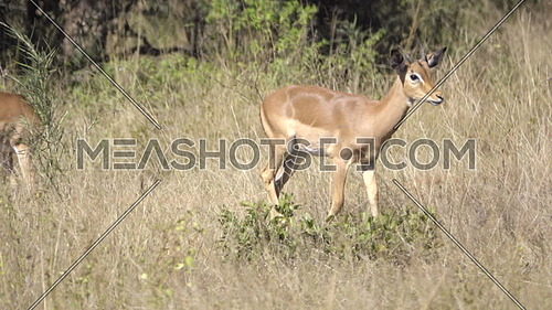 View of an impala walking in the bush