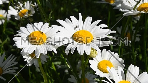 Close up white garden chamomile daisy (Matricaria) flowers shaking in the wind over green background, high angle view