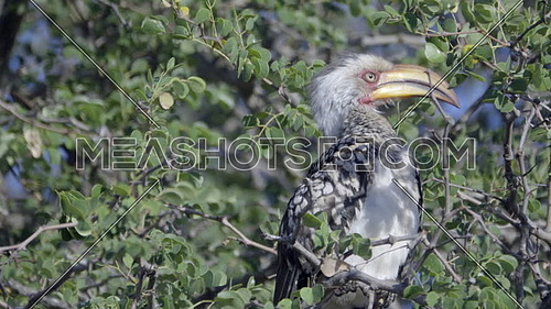 Scene as a Southern Yellow-Billed Hornbill flies away