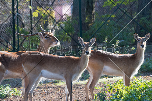 Nile lechwe (Kobus megaceros), also known as the waterbuck or wasserbock. Wild life animal.