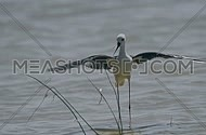 Black winged stilt protecting his nest