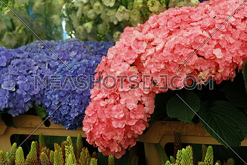 Close up fresh pink and purple blue hydrangea or hortensia flowers on retail display
