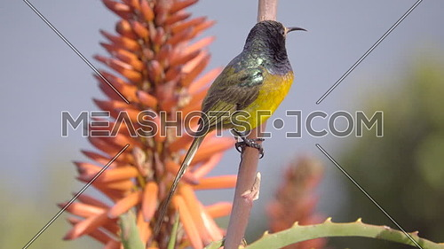 Scene of an Orange Breasted Sunbird with pollen covered face