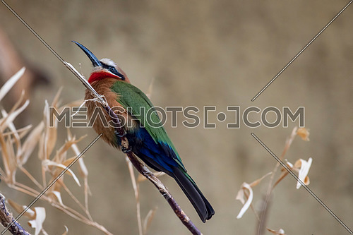 White fronted Bee eater,Specie Merops bullockoides family of Meropidae
