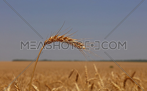 Close up field of ripe wheat or rye ears under clear blue sky, low angle view