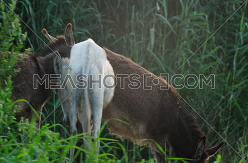 Follow Close shot for three donkeys eating grass at field beside River Nile