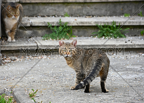 Rear view of domestic street cat looking at camera