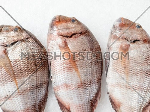 Three snapper sea fish resting on the ice, view from top,close up.