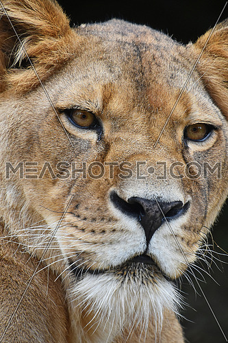 Face to face, extreme close up portrait of beautiful mature female African lioness looking at camera over black background, low angle view