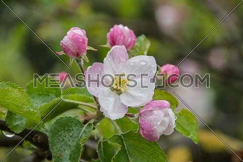 Blooming or blossoming apple tree with white and pink flowers in springtime.