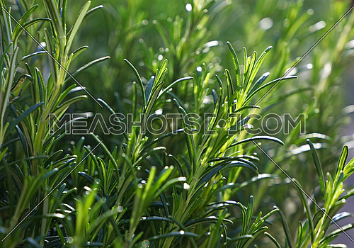 Green fresh rosemary spicy herb (Rosmarinus officinalis) sprouts growing, close up