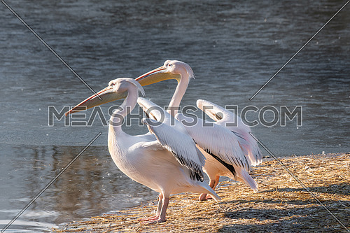 Pink Pelican (Pelecanus onocrotalus) in the wild.Disappearing species of feathered animals.