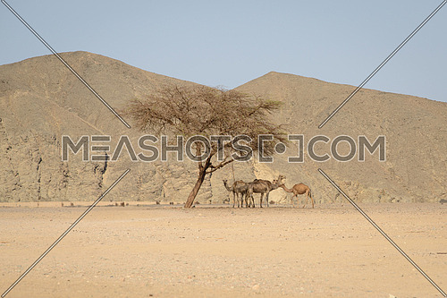 A small group of dromedaries( camels) finds refuge under an acacia tree during the heat of the day in the Egypt Desert.