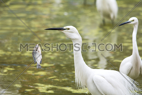 in frame two Little egrets and a fish jumping out of the water