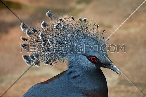 Close up side profile portrait of blue Victoria crowned pigeon (Goura), high angle view