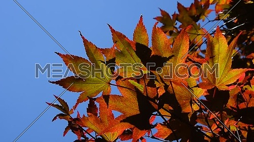 Autumn season colorful red Japanese acer leaves shaking in the wind over clear blue sky, low angle view