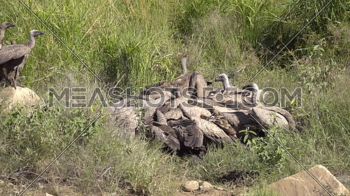 View of a group of White Backed Vultures in a feeding frenzy of a carcass