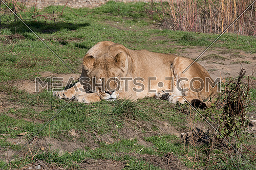 Image of a female african  lion on nature background. Wild Animals
