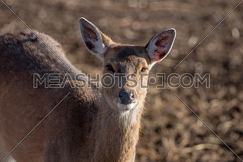 Close-up portrait of beautiful young  red deer (Cervus elaphus)