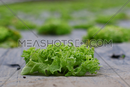 Field of of green bio salad agriculture